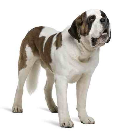 Saint Bernard Petmania Advice Centre What Dog Is Right For Me