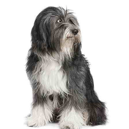 Tibetan Terrier Petmania Advice Centre What Dog Is Right For Me