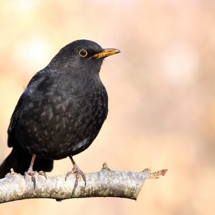 Petmania Blackbird Male