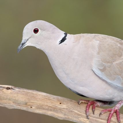 Petmania Collared Dove