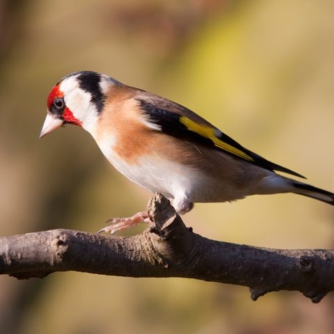 Petmania Goldfinch 1