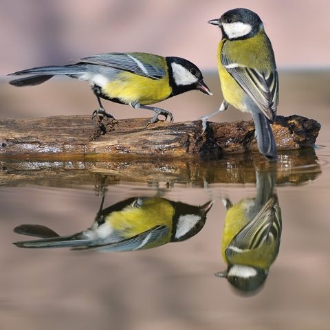 Petmania Great Tit