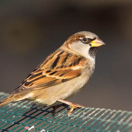 Petmania House Sparrow2