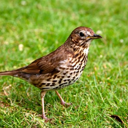 Petmania Song Thrush 1