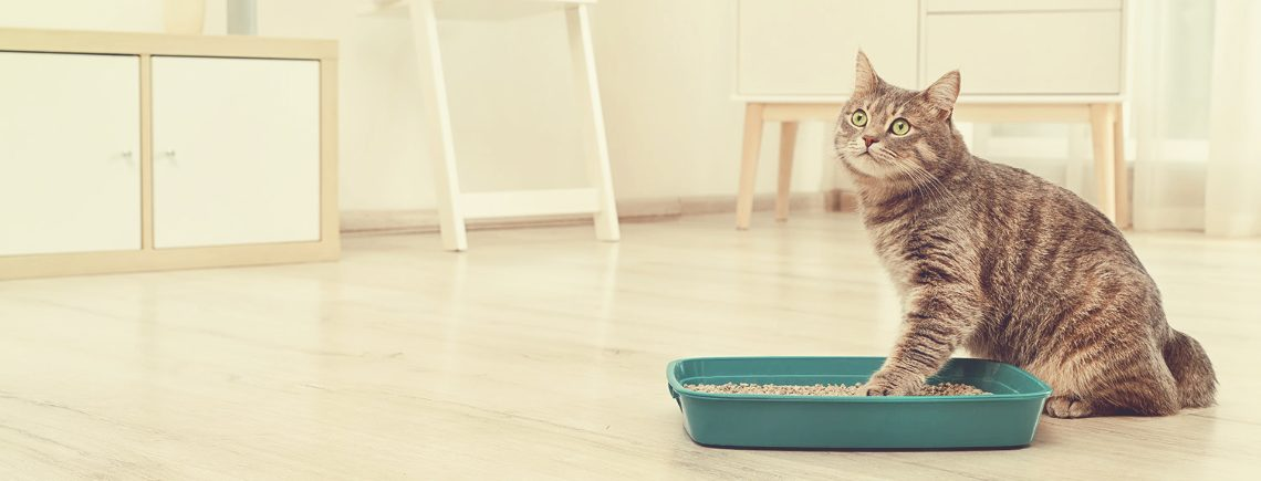Cat using her cat litter box in the house