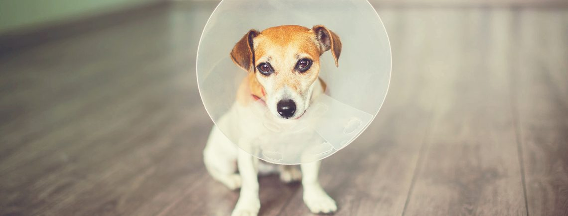 Small jack russell puppy looking sad after neutering at the vets