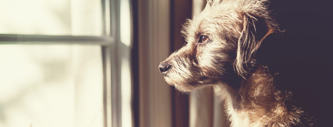 dog with separation anxiety looking out the window waiting for owner to come back