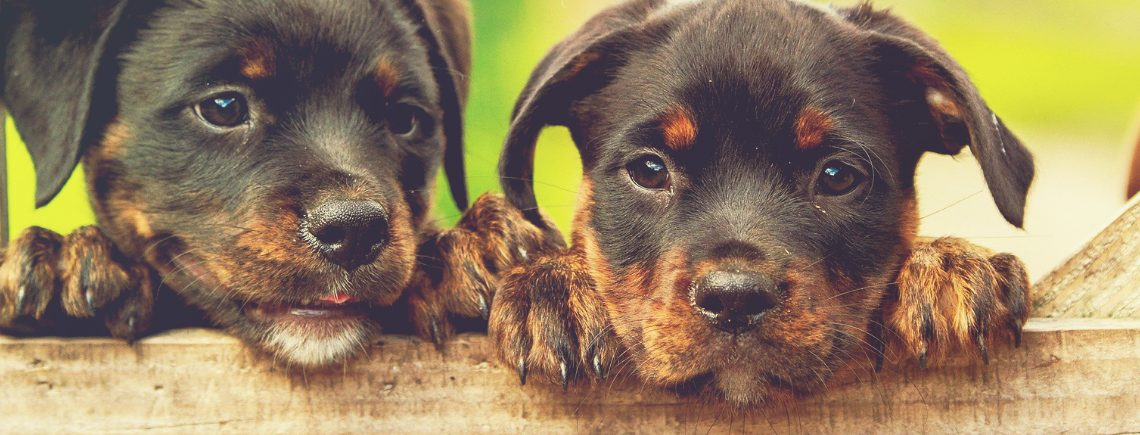two young rottweiler puppies looking over a fence
