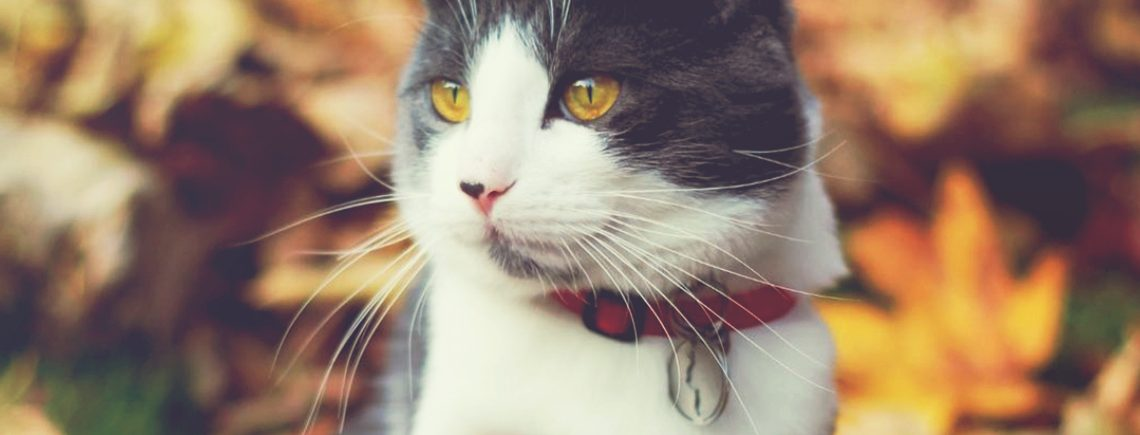 black and white cat wearing a red collar in amongst the leaves during autumn