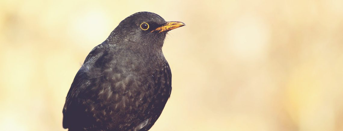close-up of male blackbird garden bird looking into distance on a tree branch
