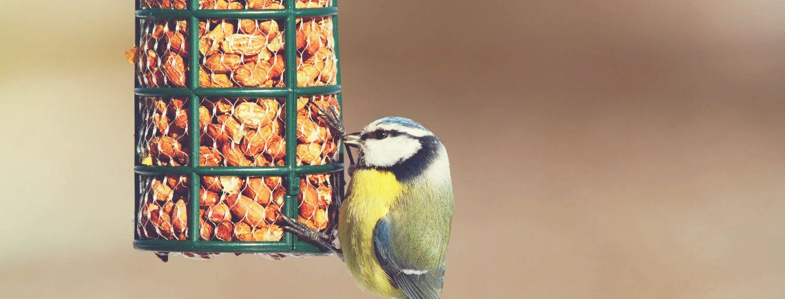 hungry blue tit eating from garden bird feede
