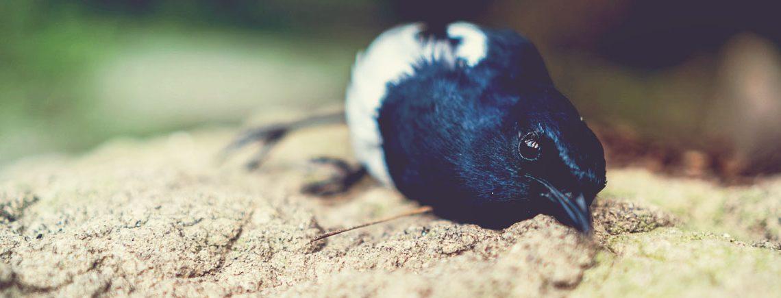 injured black bird on the ground in garden