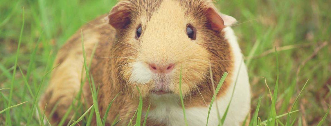 cute guinea pig in field