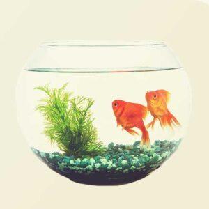fish tank goldfish