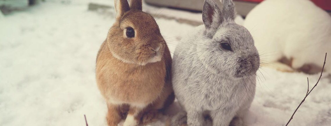 Pet rabbits sitting in the snow banner