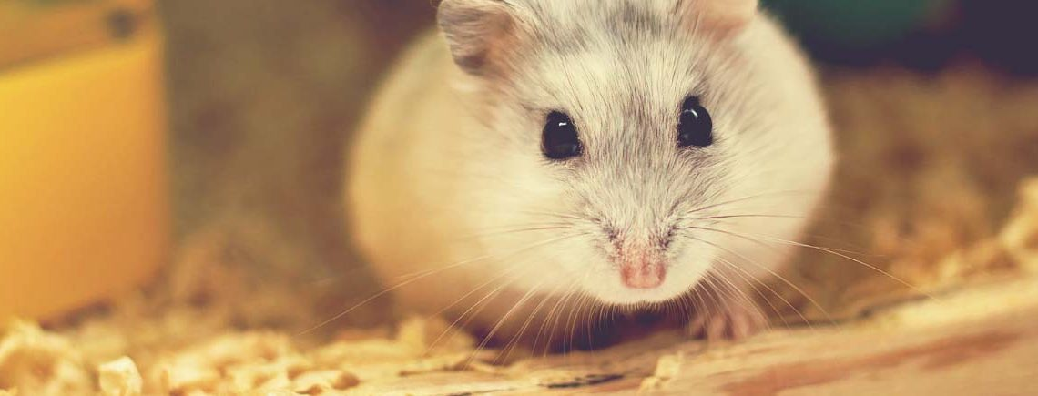 cute hamster in bed