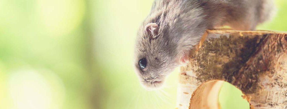 hamster climbing on wooden toy