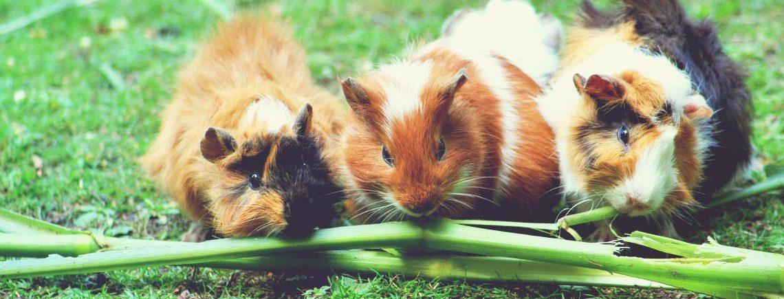species of guinea pig banner